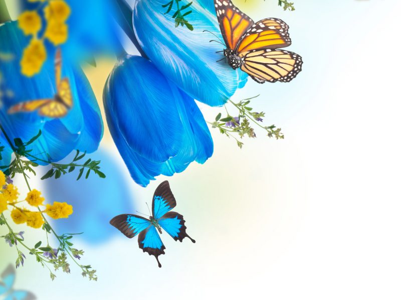 Blue Tulips with Mimosa and butterfly